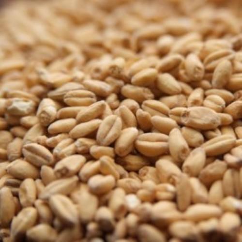 Unmalted Wheat - Per Pound
