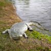 Crocodile Statue Life Size 12FT