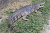 American Alligator Life Size Statue 8 FT