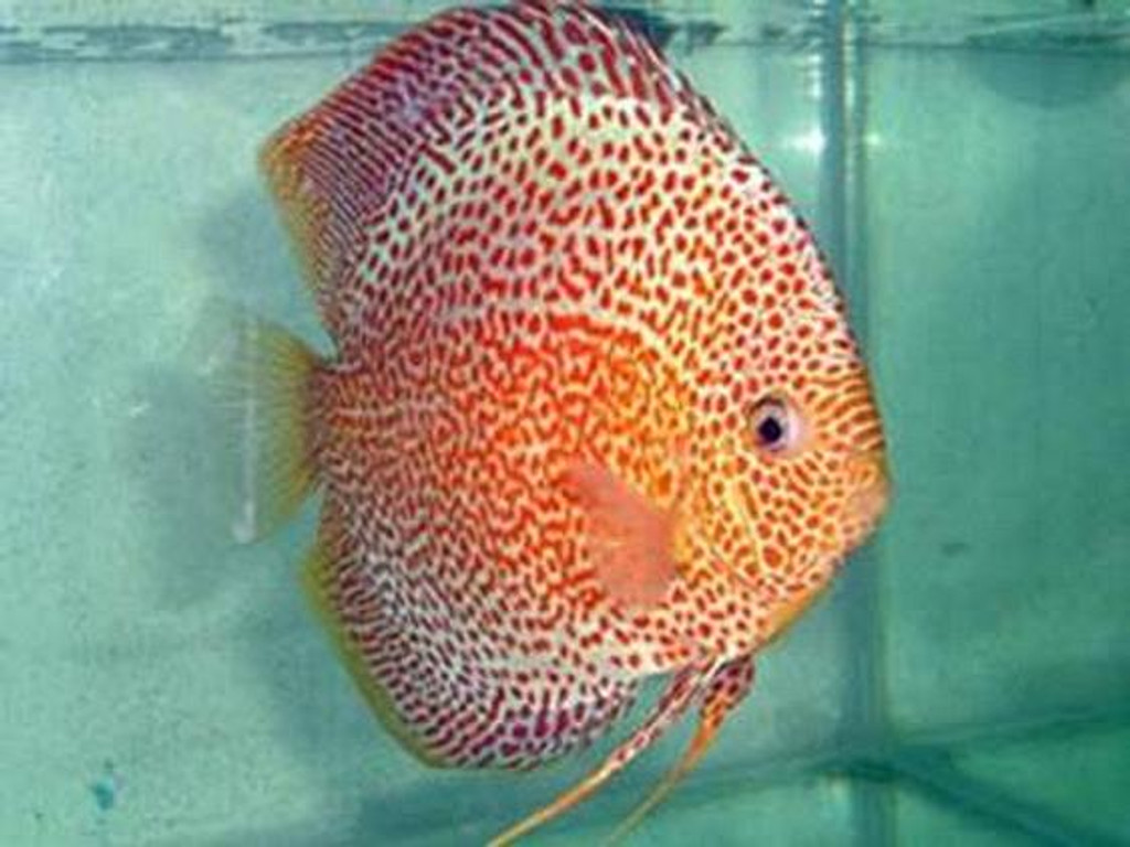 Penang Eruption Discus Fish  2.5 inch