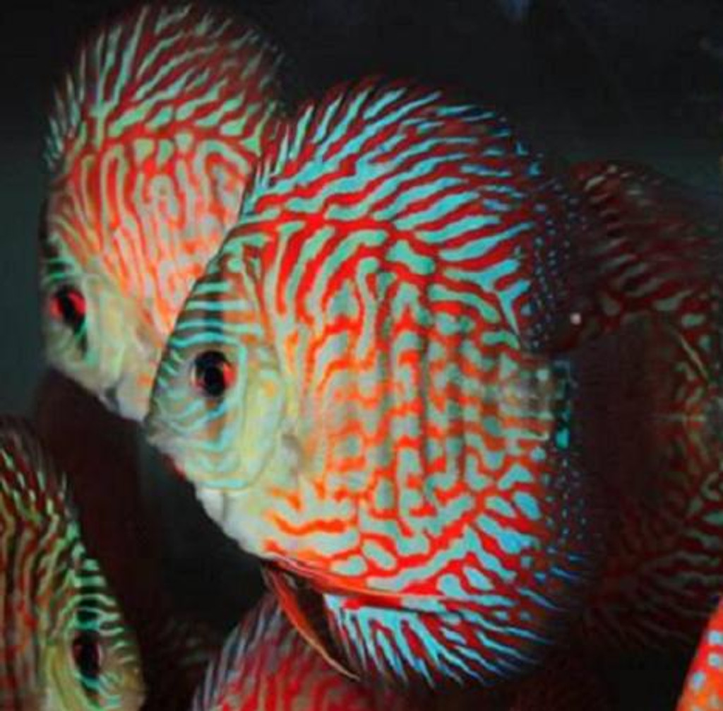 Galaxy Red Turquoise Discus Fish  2 inch