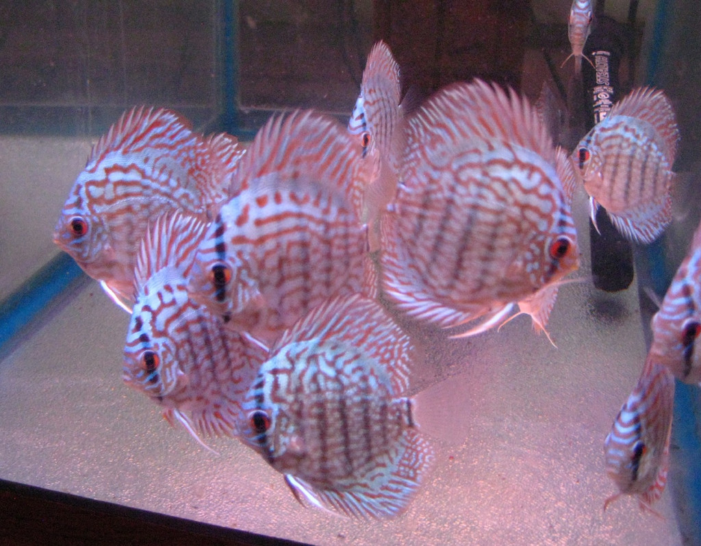 German Turquoise Discus Fish  3 inch