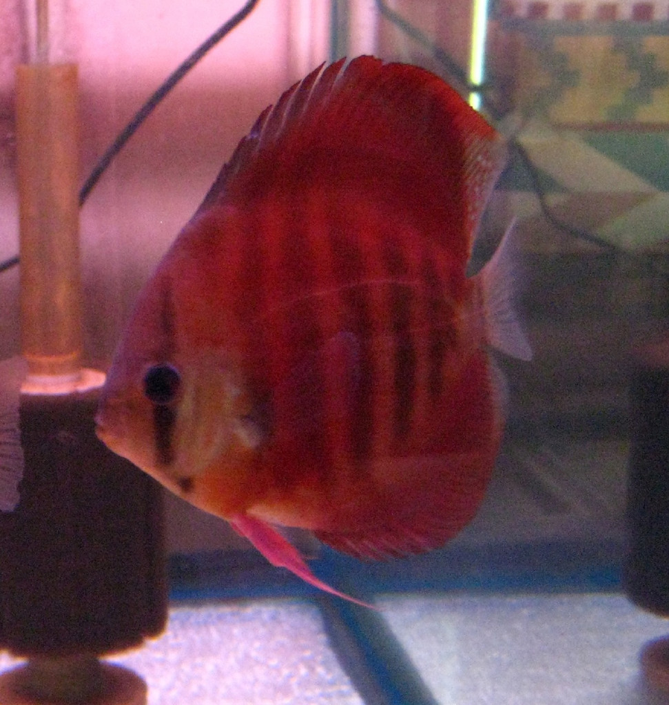 Red Rose Discus Fish 2.5 inch