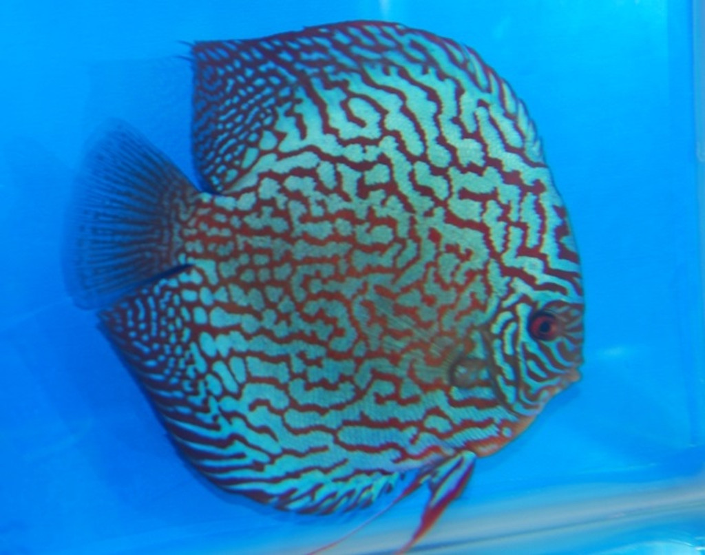 Altum Flora Red Turquoise Discus Fish  3 inch