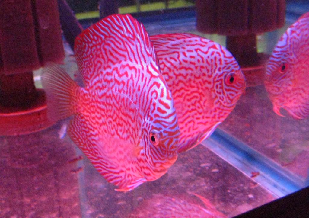 Hi Fin Red Royal Discus Fish 2 inch