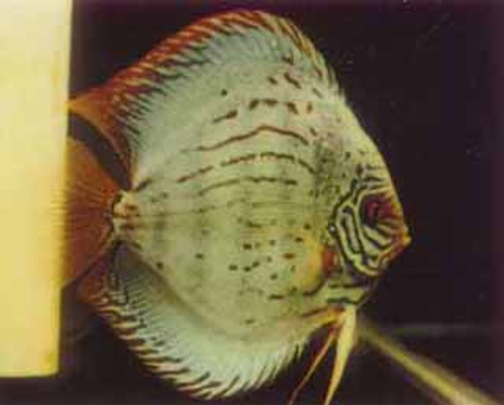 Hi Fin Asian Turquoise Discus Fish  2 inch