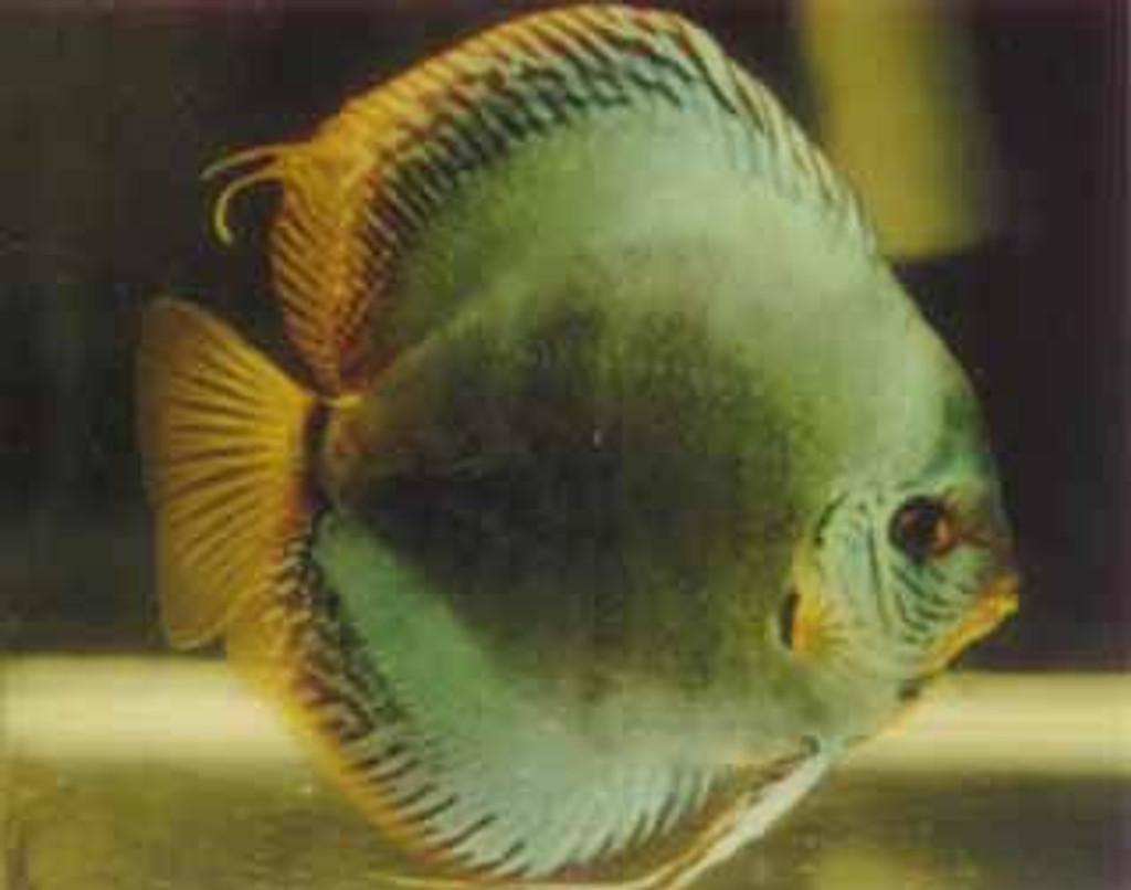 """Neon Turquoise Discus Fish"" 2 inch"