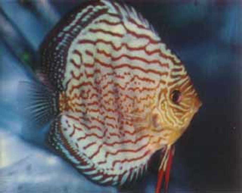 Scribbled Red Discus Fish 2 inch