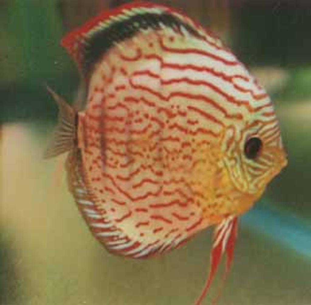 Golden Red Discus Fish  2 inch
