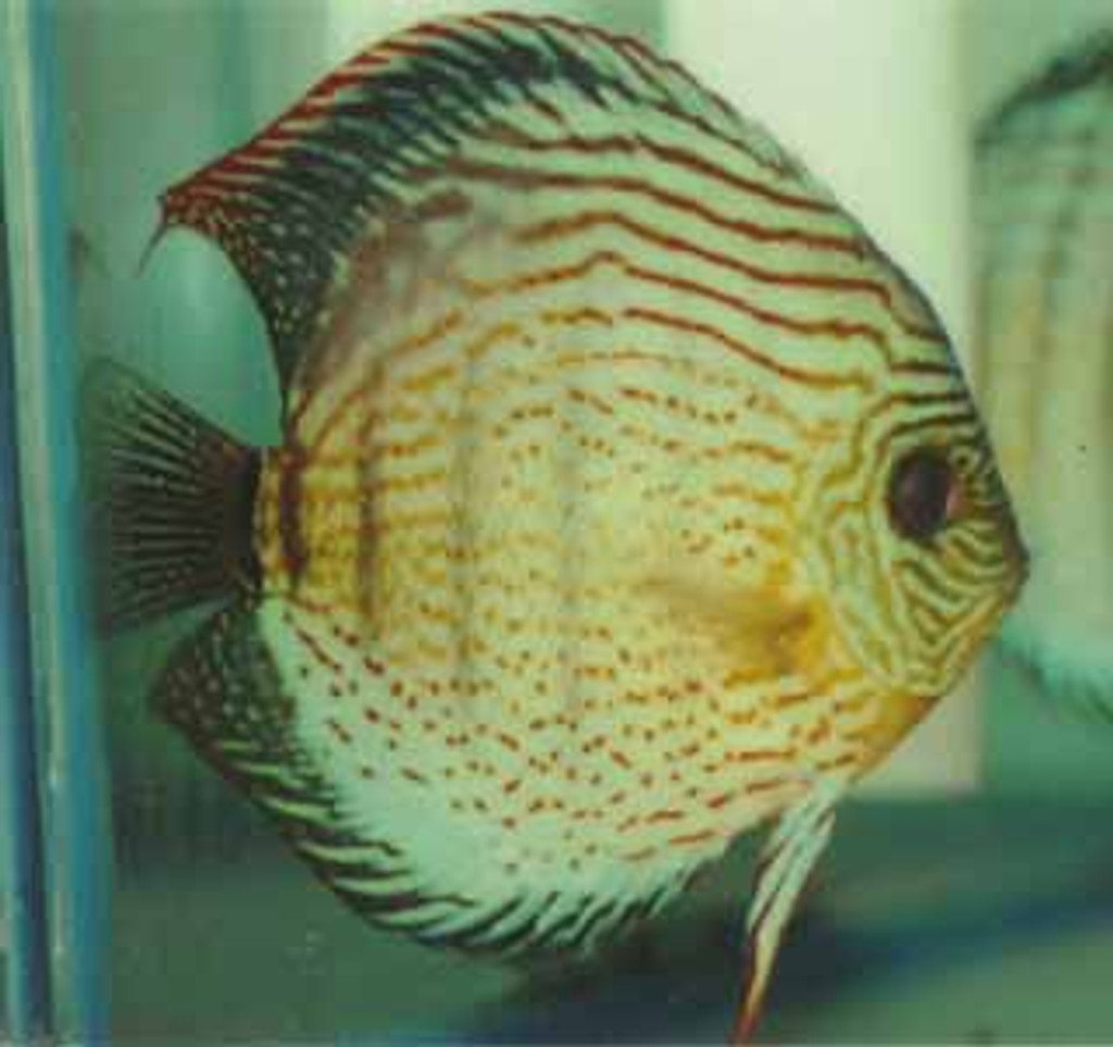Lake Tefe' Green Discus Fish 3 inch