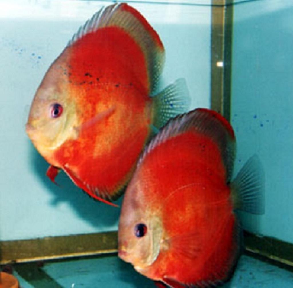 Marlboro  Discus Fish  3 inch