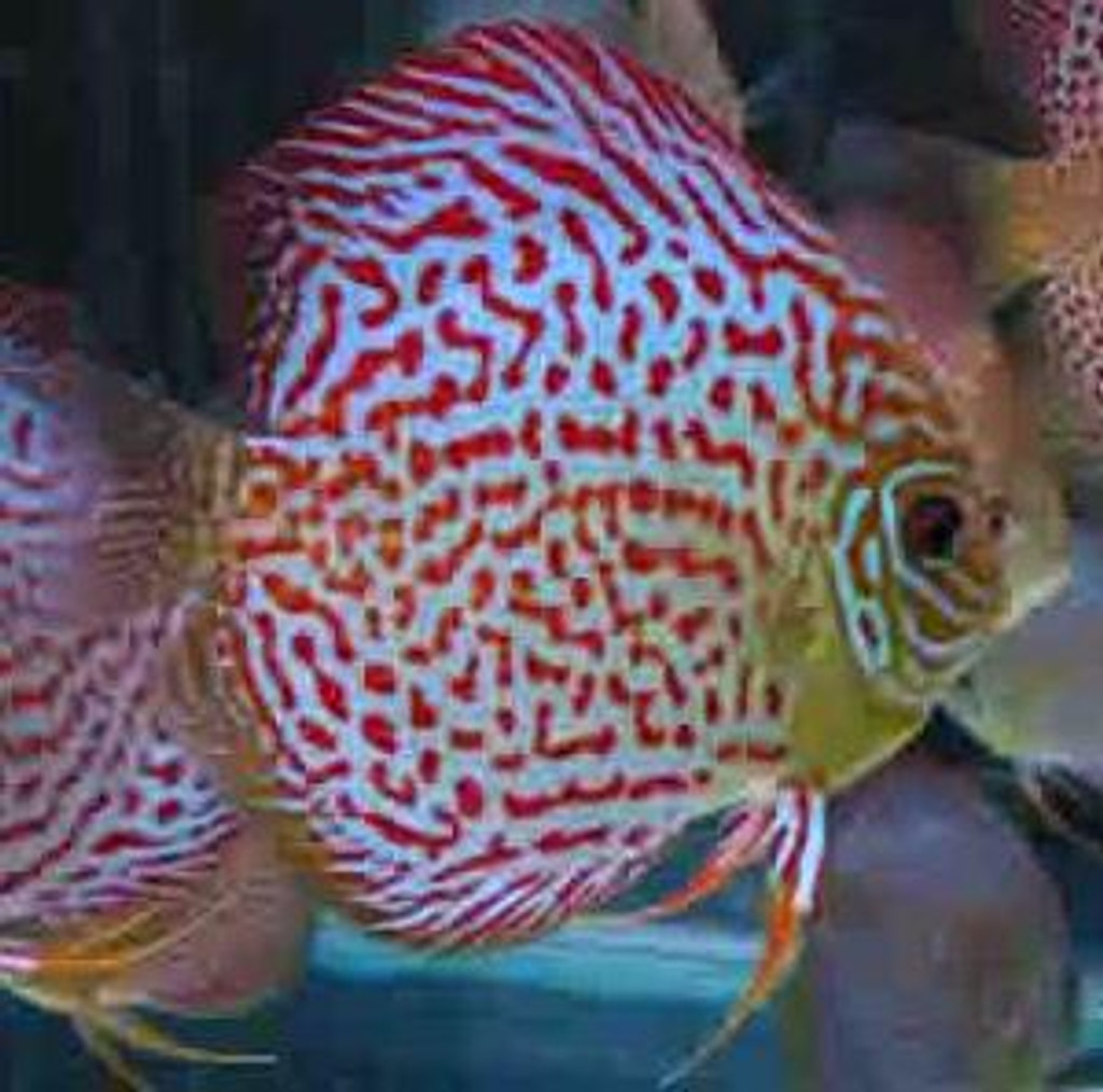 Red Leopard Skin Discus Fish  2.5 inch