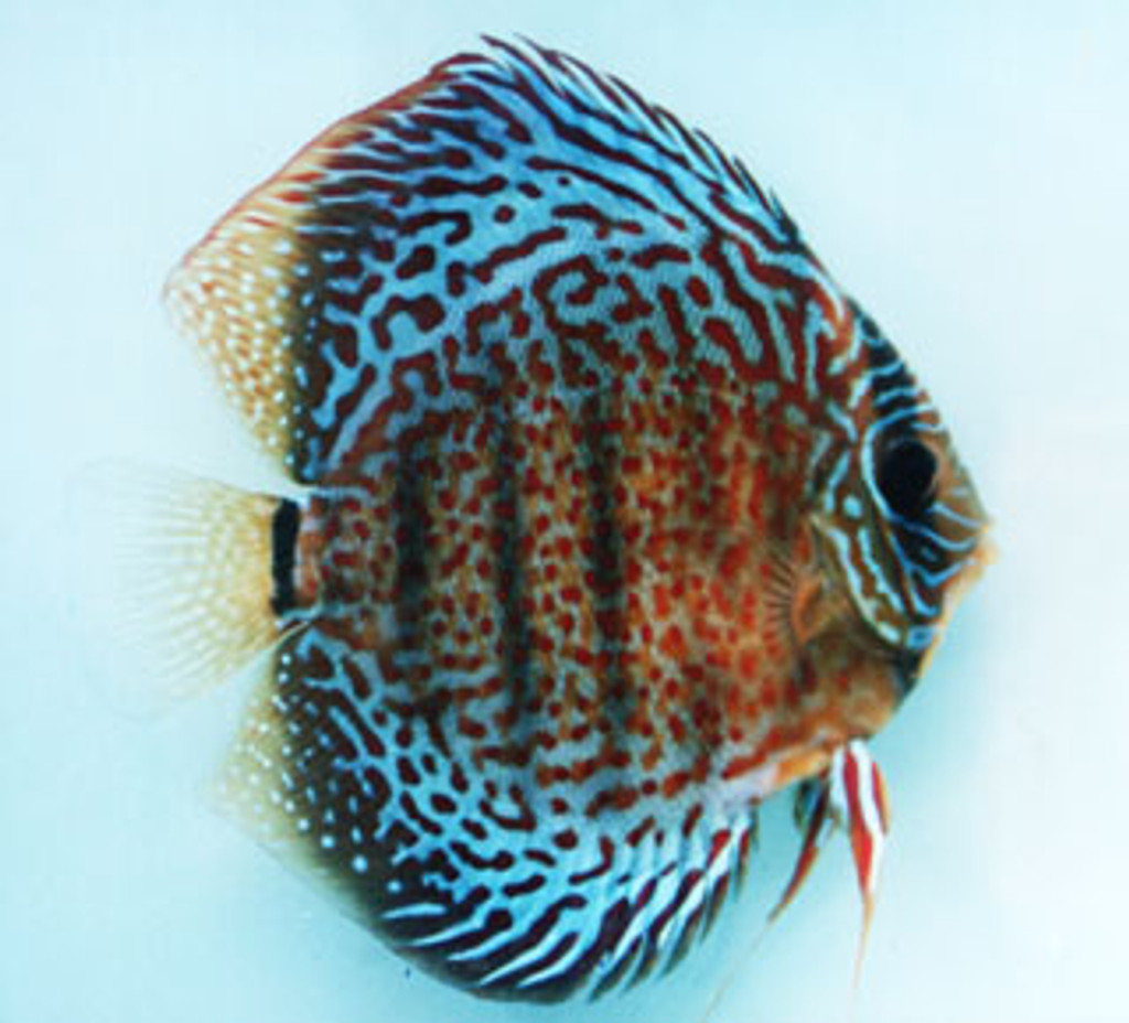 Red Spotted Green Discus Fish F-2 - 2 inch