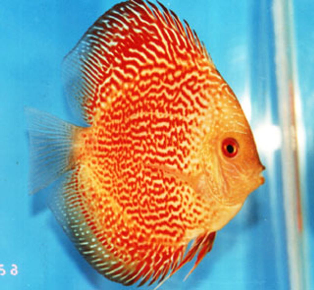 Golden Red Ribbon Snake Discus Fish  2.5 inch
