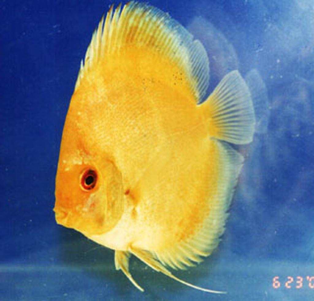 Thai Yellow Discus Fish  2 inch