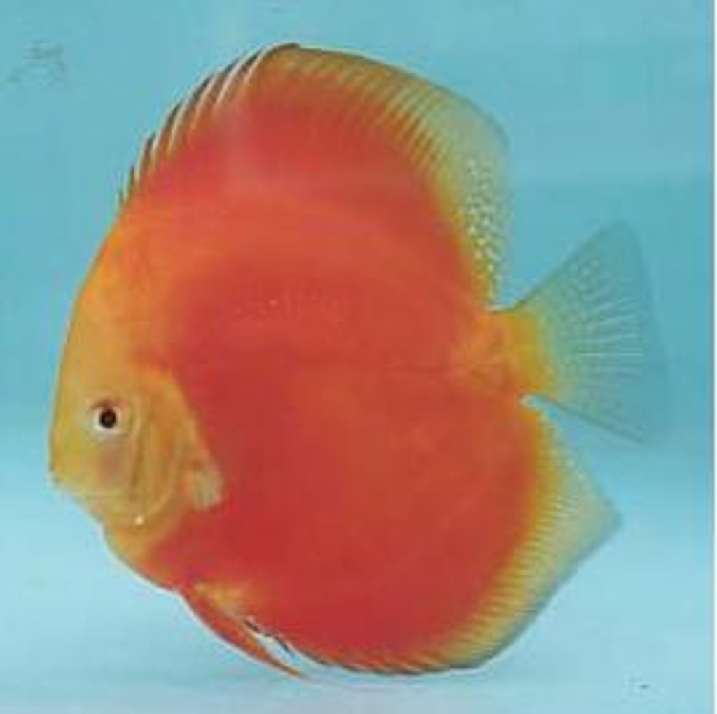 Super Red Melon Discus Fish  3 inch