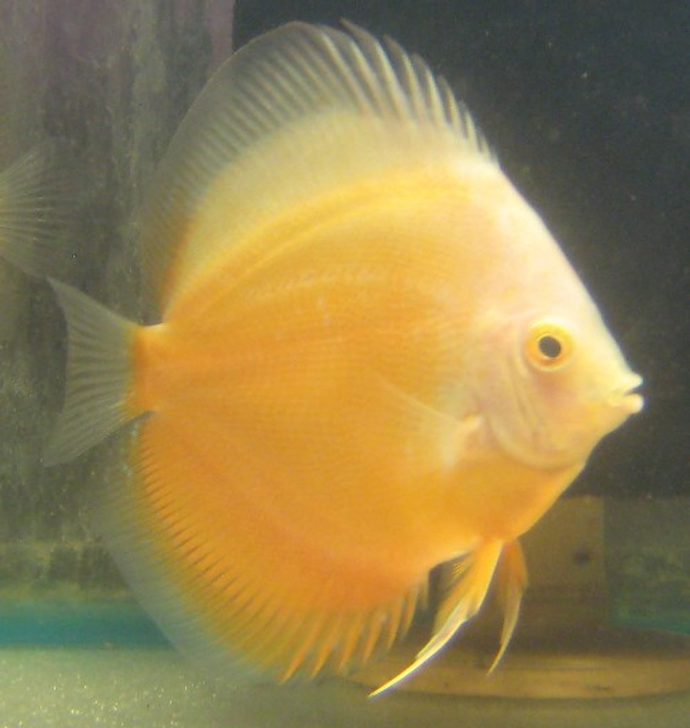 Gold Crystal Discus Fish  2 inch
