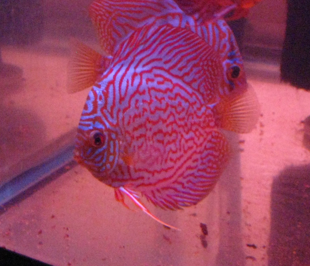 Brilliant Red Tiger Discus Fish  3 inch