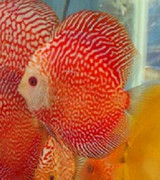 Fire Red Snake Discus Fish  2.5 inch