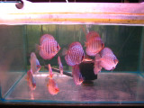 """DISCUS FISH SPECIAL""  Three color 6 Pack  ""Delivered"""