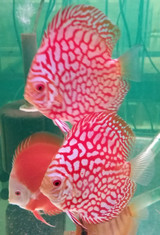 Super Red Flora Discus Fish  2.5 inch