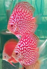 Super Red Flora Discus Fish  2 inch