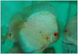Green Diamond Snake Skin Discus Fish 3 inch