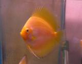 Lemon Drop Yellow Discus Fish 3 inch