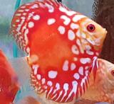 Discus Fish Rafflesia 2 inch