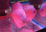 Hi Fin Red Royal Discus Fish 3 inch