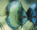 Emerald Green Discus Fish  2 inch
