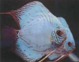Hi-Fin Cobalt Discus Fish  2.5 inch