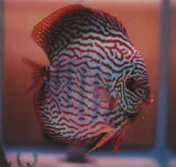 Red Rio Purus Discus Fish  2 inch
