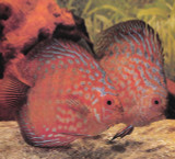 Pigeonblood Discus Fish  2.5 inch