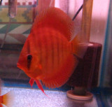 Maroon Red Discus Fish  3 inch