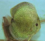 Snake Skin Discus Fish   2 inch