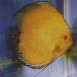 Gold Diamond Discus Fish  2.5 inch