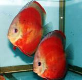 Marlboro  Discus Fish  2 inch
