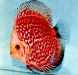 Red Stone Discus Fish  3 inch