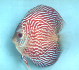 Red Eagle Discus Fish  2 inch