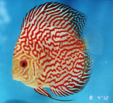 Red Ribbon Pigeon Discus Fish  2.5 inch