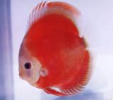 San Merah Discus Fish  2 inch