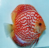Red Dragon Discus Fish  2 inch