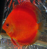 Red Ruby Discus Fish  2 inch