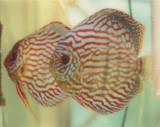 Candy Apple Red Discus  2 inch