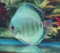 German Brilliant Discus Fish  (green hue) 3 inch