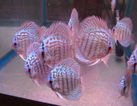 German Turquoise Discus Fish  2 inch