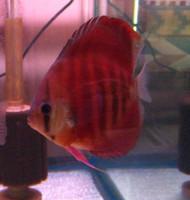 Red Rose Discus Fish 3 inch