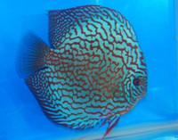 Altum Flora Red Turquoise Discus Fish  2 inch