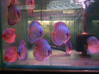 """DISCUS FISH SALE""   Six Contrasting Color 6 Pack  ""Delivered"""